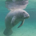 Manatee Safety